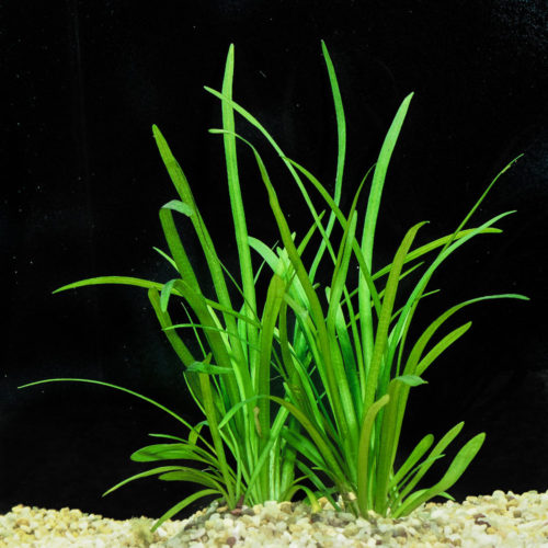 Sagittaria+subulata+submersed+(1+of+1)